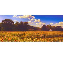 Field of Sunflowers Photographic Print