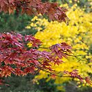 Maple Contrasts  by Rob Hawkins