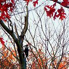Pileated Woodpecker in the Maple Tree by TrendleEllwood