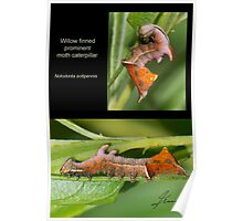 Willow Finned Prominent moth caterpillar Poster