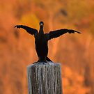 Cormorant - (Phalacrocoracidae) by Matsumoto