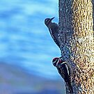 Yellow Bellied Sapsucker by Debbie Oppermann