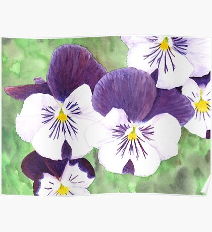 White and purple Pansies flowers Poster