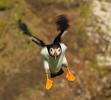 Puffin Landing by Jonathan Cox