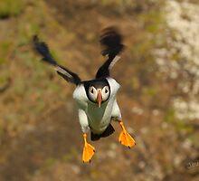 Puffin Landing by Jonathan Cox