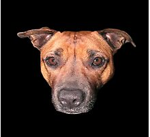 Staffordshire Bull Terrier, Face Of An Angel. Photographic Print