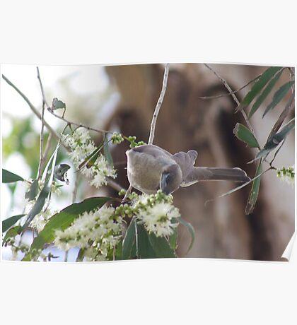 Little Friarbird  Poster
