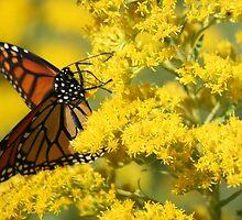 Monarch Butterfly by Jean Martin
