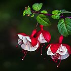 Swingtime Fuchsias by Snopaw