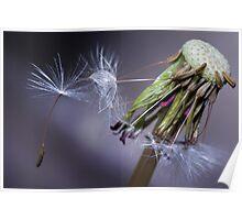 Seeding Taraxacum Poster