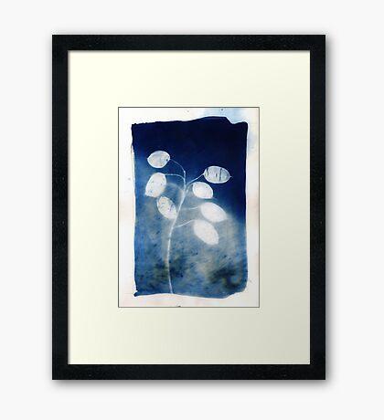 Honesty - Cyanotype Print of Honesty Plant Framed Print