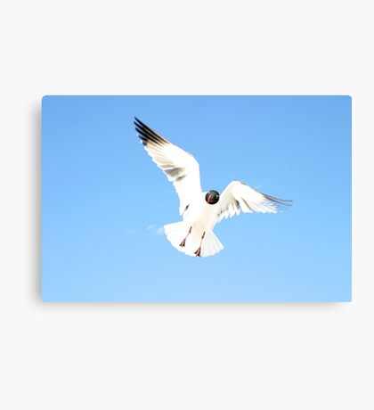 Floridian Gull Canvas Print