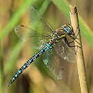 Migrant Hawker by MikeSquires