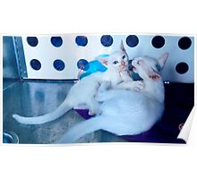 White kittens playing Poster
