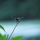 Dragonfly by Veronica Schultz