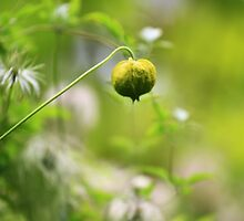 Seed Pod - Jupiter 9 Lens on EOS 7D by Mark Haynes Photography