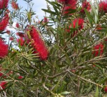Beautiful Callistemon Flowers dancing in the Gusting winds. Sticker