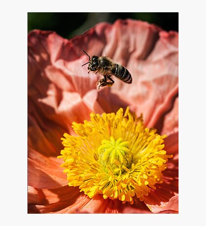 Poppy landing pad Photographic Print