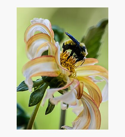 Bumblebee on dahlia Photographic Print