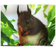 Eichhörnchen - kleiner Kirschendieb - kleiner Kobold - süßes Tierchen  Poster