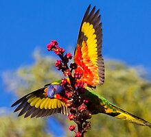 Rainbow Lorikeet in my back yard by Doug Cliff