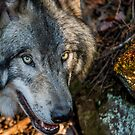 Timber Wolf - Closeup by Michael Cummings