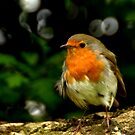 Another Robin by Photography  by Mathilde