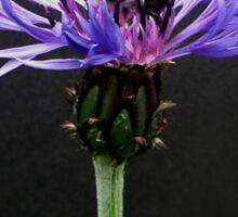 Cornflower featuring Bumble bee Sticker