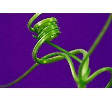 Squash Tendril Macro Photographic Print