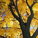 My Fall Maple 2016 2 by marybedy