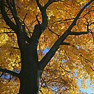 My Fall Maple 2016 4 by marybedy