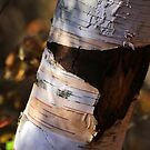 Scarred Birch by marybedy