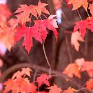 Soft Fall Maple Red by marybedy