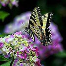 Butterfly on Hydrangea by Darlene Lankford Honeycutt