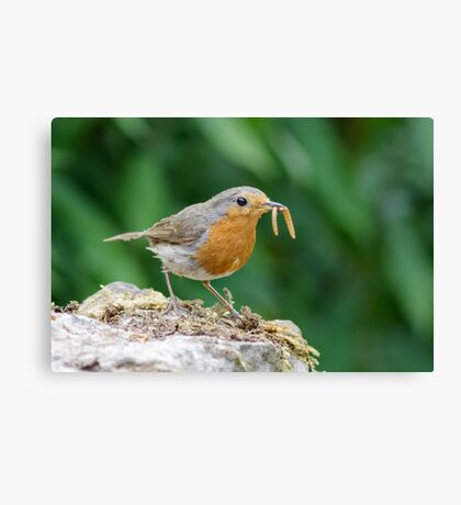 European Robin (Erithacus rubecula) with a mouthful of mealworms. Canvas Print