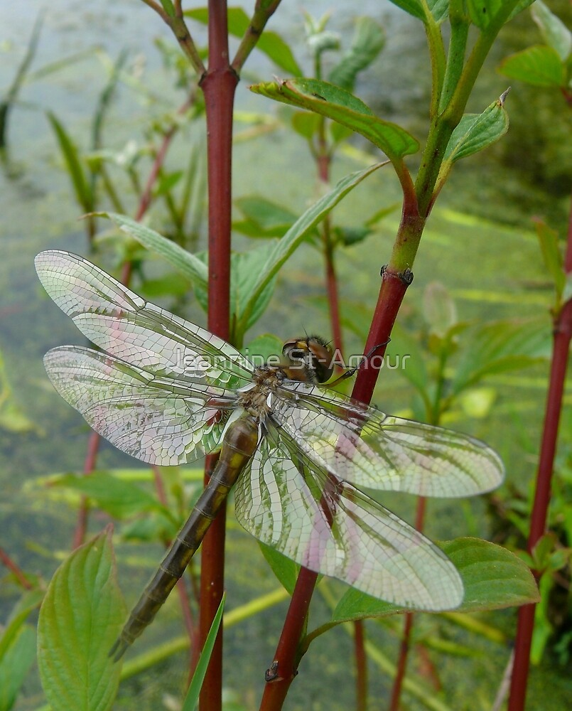 New born dragonfly by Jeannine St-Amour