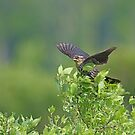 Red Wing Blackbird - Female by Lynda   McDonald