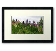 Lupin Panorama Framed Print