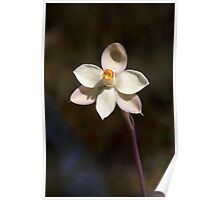 Thelymitra rubra - Cream version Poster