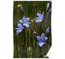 Veined Sun Orchid - Thelymitra cyanea  Poster