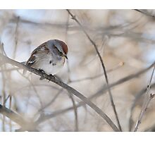 Hiding ~ Tree Sparrow Photographic Print