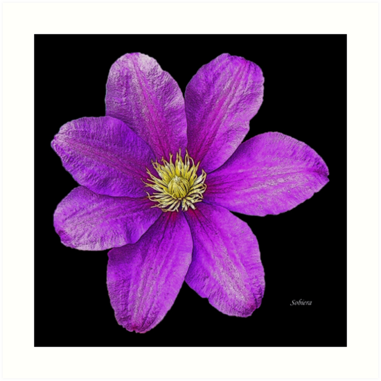 Clematis Beauty by Rosemary Sobiera