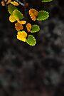 Autumn Fagus, Mt Field by Jim Lovell