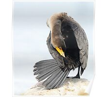 Juvenile Double-crested Cormorant Poster