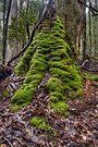 Tall tree, Mt Field by Jim Lovell
