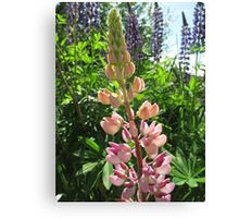Lovely Lupins Canvas Print