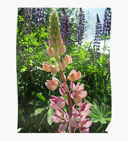 Lovely Lupins Poster