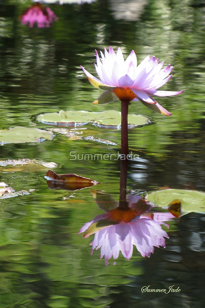 Water Lily Mirrored in the Pond by SummerJade