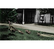 Momma turkey and babies Photographic Print