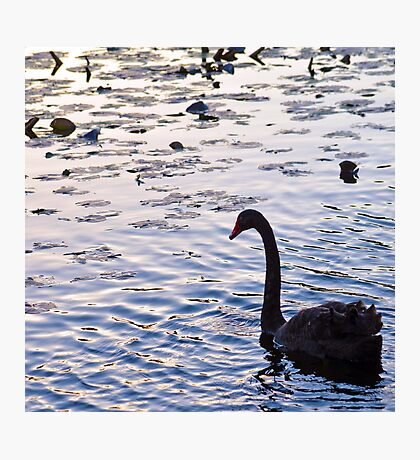 Silhouette of Australian Black Swan Photographic Print